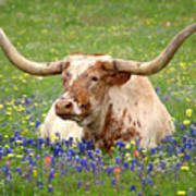 Texas Longhorn In Bluebonnets Print by Jon Holiday