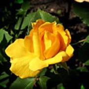 The Yellow Rose Of Garden Print by Tom Buchanan