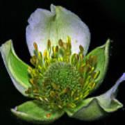 Thimbleweed Anemone Virginiana Print by Ron Kruger