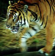 Tiger Burning Bright Print by Rebecca Sherman