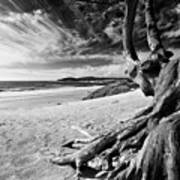 Tree Roots Carmel Beach Print by George Oze