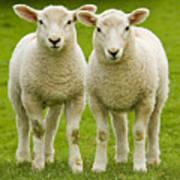 Twin Lambs Print by Meirion Matthias