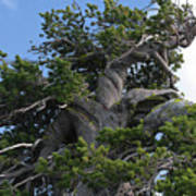 Twisted And Gnarled Bristlecone Pine Tree Trunk Above Crater Lake - Oregon Print by Christine Till