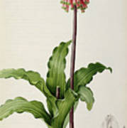 Veltheimia Capensis Print by Pierre Joseph Redoute