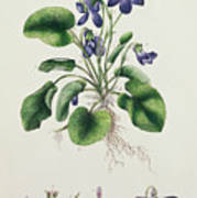 Violets Print by English School