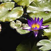 Vivid Purple Water Lilly Print by Teresa Mucha