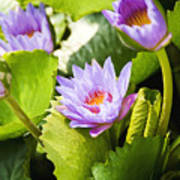 Water Lilies Print by Ray Laskowitz - Printscapes