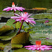 Water Lillies-st Lucia Print by Chester Williams