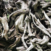 Weathered Roots - Sitka Spruce Tree Hoh Rain Forest Olympic National Park Wa Print by Christine Till