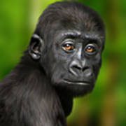 Western Lowland Gorilla Baby Print by Julie L Hoddinott