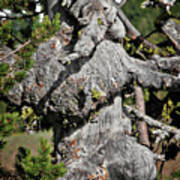 Whitebark Pine Tree - Iconic Endangered Keystone Species Print by Christine Till