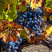 Wine Grapes Napa Valley Print by Garry Gay