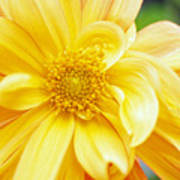 Yellow Dahlia Print by Kathy Yates