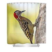 Hispaniolan Woodpecker Shower Curtain by Jim Nelson