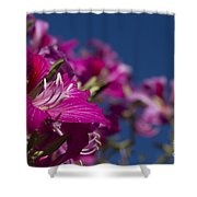 Bauhinia Purpurea - Hawaiian Orchid Tree Shower Curtain by Sharon Mau
