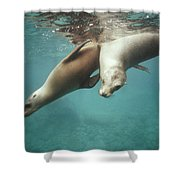California Sea Lions Playing Sea Shower Curtain by Tui De Roy