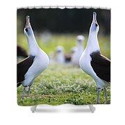Laysan Albatross Courtship Dance Hawaii Shower Curtain by Tui De Roy