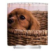 Cavalier King Charles Spaniel Puppy In Basket Shower Curtain by Edward Fielding