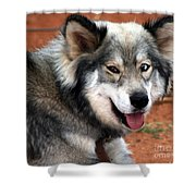 Miley The Husky With Blue And Brown Eyes  Shower Curtain by Doc Braham
