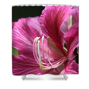 Bauhinia Blakeana - Hong Kong Orchid - Hawaiian Orchid Tree  Shower Curtain by Sharon Mau