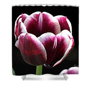 Triumph Tulip named Jackpot Shower Curtain by J McCombie