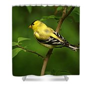 American Gold Finch Shower Curtain by Sandy Keeton