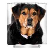 Attentive Labrador Dog Shower Curtain by Christina Rollo