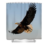 Bald Eagle Flying With Fish In Its Talons Shower Curtain by Stephen J Krasemann