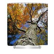 Big Orange Maple Tree Shower Curtain by Christina Rollo