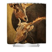 Bighorn Sheep Of The Arkansas River  Shower Curtain by Priscilla Burgers