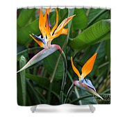 Bird Of Paradise Shower Curtain by Carol Groenen