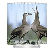 Black-footed Albatross Courtship Dance Shower Curtain by Tui De Roy