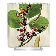 Butea Superba Shower Curtain by William Roxburgh