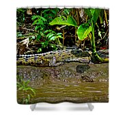 Caiman Cocodilus Shower Curtain by Gary Keesler