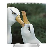 Campbell Albatrosses Courting Campbell Shower Curtain by Tui De Roy