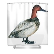 Canvasback Duck  Shower Curtain by Anonymous