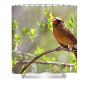 Cardinal In Spring Shower Curtain by Sandi OReilly