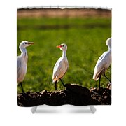 Cattle Egrets Shower Curtain by Robert Bales