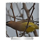 Cedar Waxwing Feasting In Foggy Cherry Tree Shower Curtain by Jeff at JSJ Photography