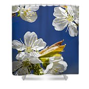 Cherry Blossoms Shower Curtain by Christina Rollo