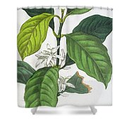 Coffea Arabica Shower Curtain by Pancrace Bessa