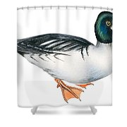 Common Goldeneye  Shower Curtain by Anonymous