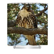 Curious Redtail Shower Curtain by Donna Blackhall