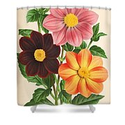 Dahlia Coccinea From A Begian Book Of Flora. Shower Curtain by Philip Ralley