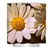 Daisies Shower Curtain by Chevy Fleet