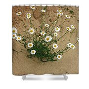 Daisies In The Sand Shower Curtain by Randy Pollard
