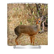 Dik Dik Tsavo National Park Kenya Shower Curtain by Amanda Stadther