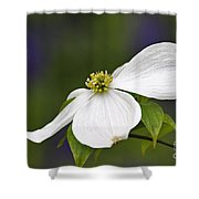 Dogwood Blossom - D001797 Shower Curtain by Daniel Dempster