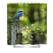 Eastern Bluebird Shower Curtain by Christina Rollo