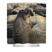 Elephant Seals Shower Curtain by Bob Christopher